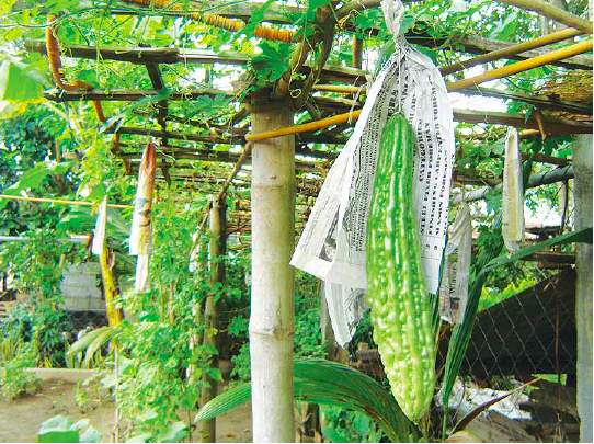 Growing Organic Ampalaya for Diabetes – Agriculture Monthly
