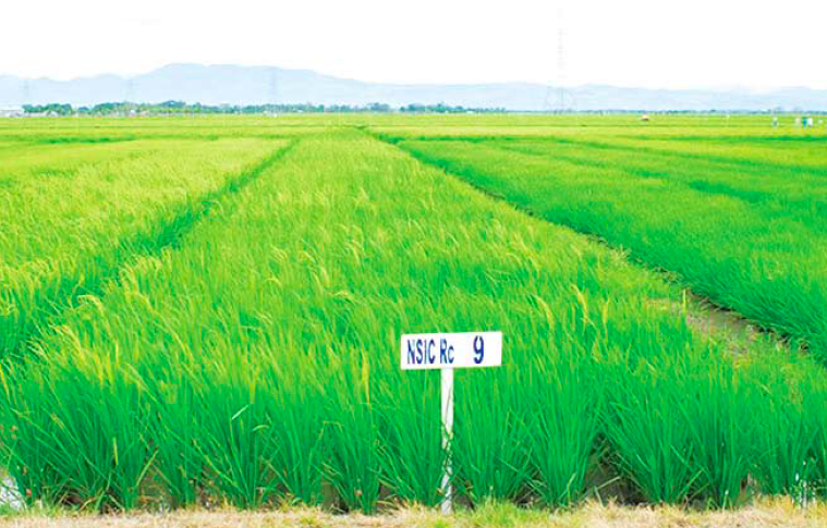Upland Farmers Encouraged To Plant Modern And Traditional Rice Agriculture Monthly