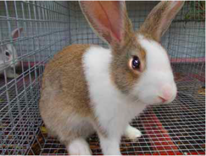 Rabbit Farming Part 2 An Overview Of The Philippine Rabbit