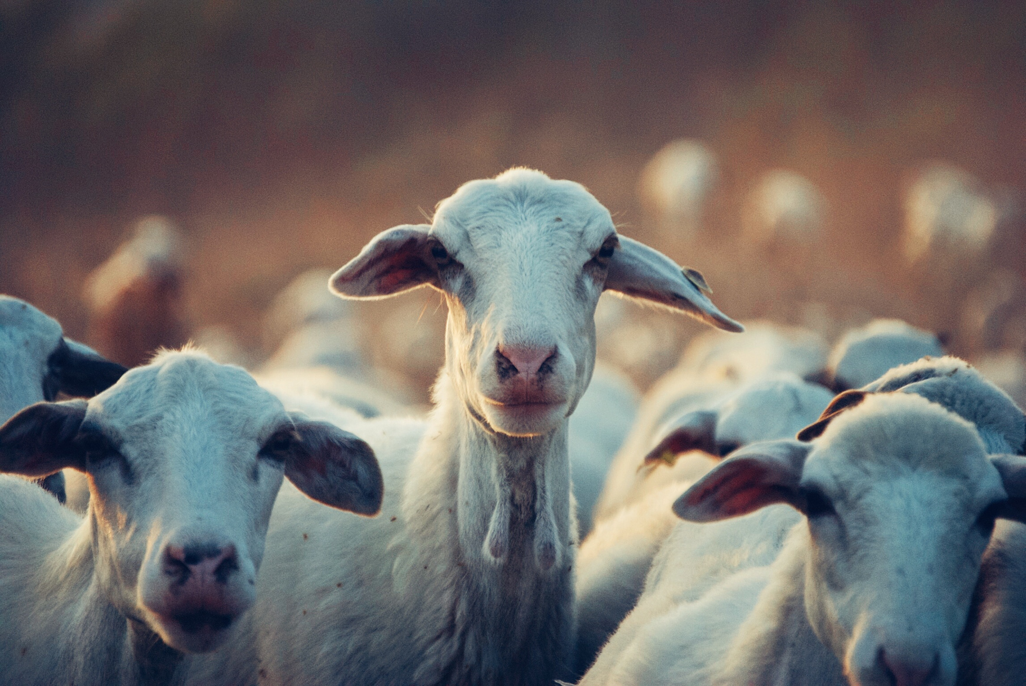 Authenticity Questions Hound Philippine Halal Goat Industry