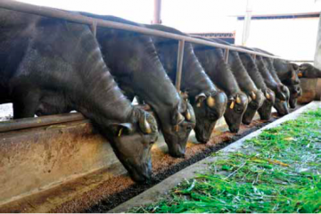 Carabao Rises to New-Found Importance as Farmers' 'Beast of Fortune