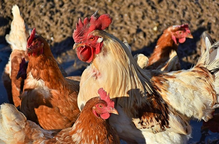 New Vaccine Treats Infectious Bronchitis in Poultry