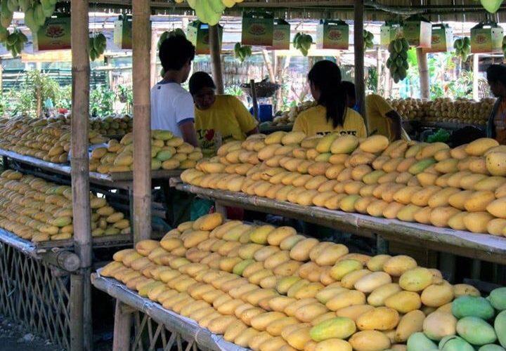 Help Luzon mango farmers by buying this season's bumper crop