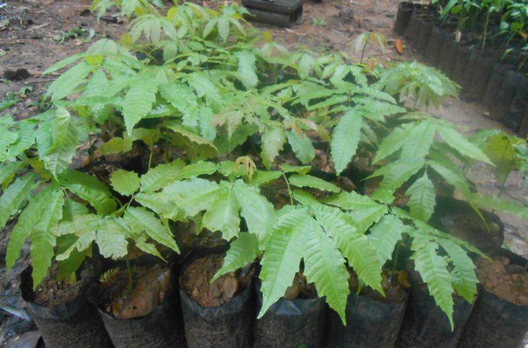 Chayi plant