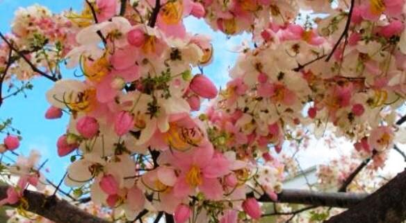 Balayong The Philippine Cherry Blossom Agriculture Monthly