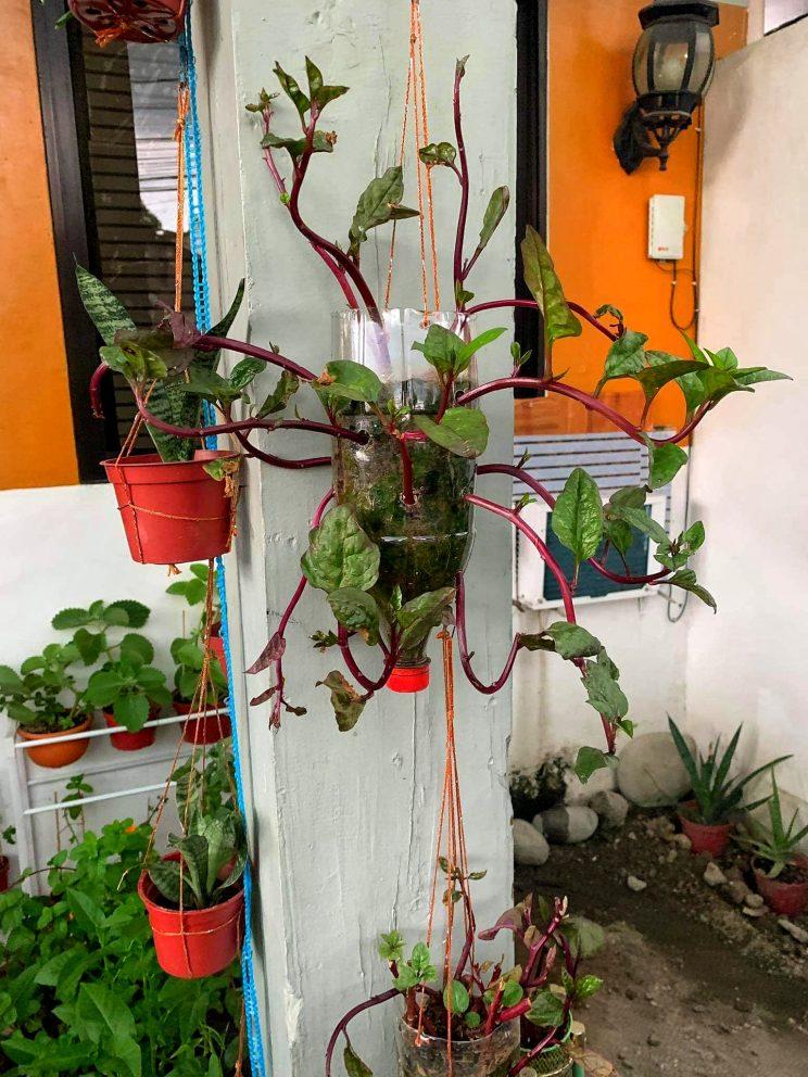 hanging veggies