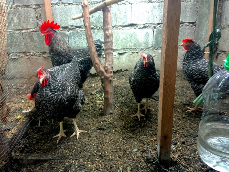 4 A photo of the original Barred Plymouth Rocks that the couple started with. 744x558 - A couple invested in an urban chicken farm to foster food security and sustainability, part 1