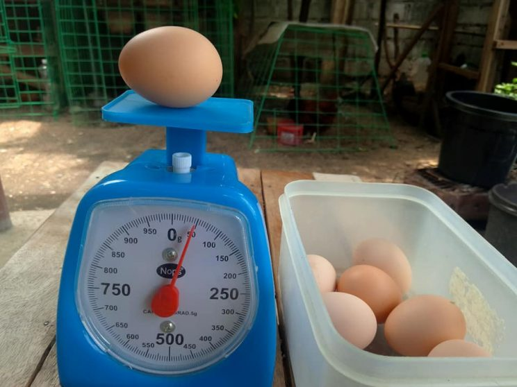 7 Despite buying dual purpose breeds the couple mainly focuses on their chickens egg laying ability. 744x558 - A couple invested in an urban chicken farm to foster food security and sustainability, part 1