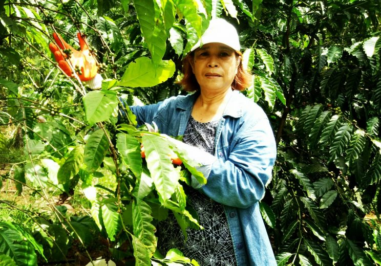 2 She personally went to Tagum City Davao del Norte where she engaged in training about coffee production. 744x520 - Growing coffee brought a local back home to Leyte where she flourished in the trade, part 1: Starting out