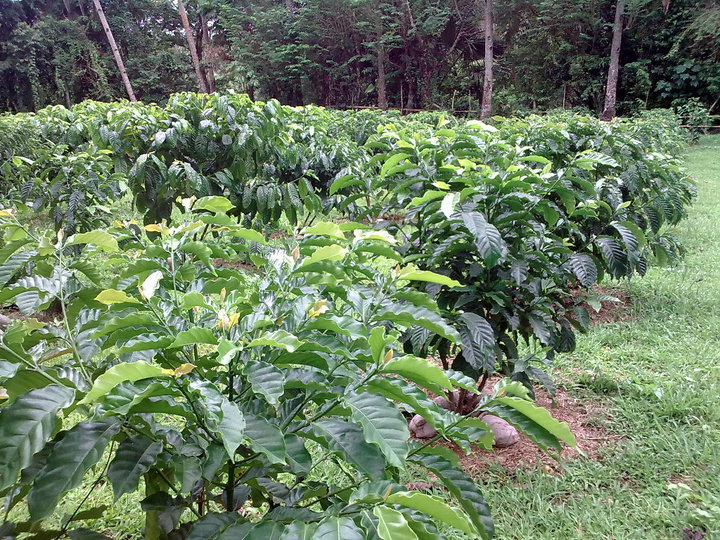 3 About 3000 coffee plants were planted in 2.3 hectares of land in Anahawan. - Growing coffee brought a local back home to Leyte where she flourished in the trade, part 1: Starting out