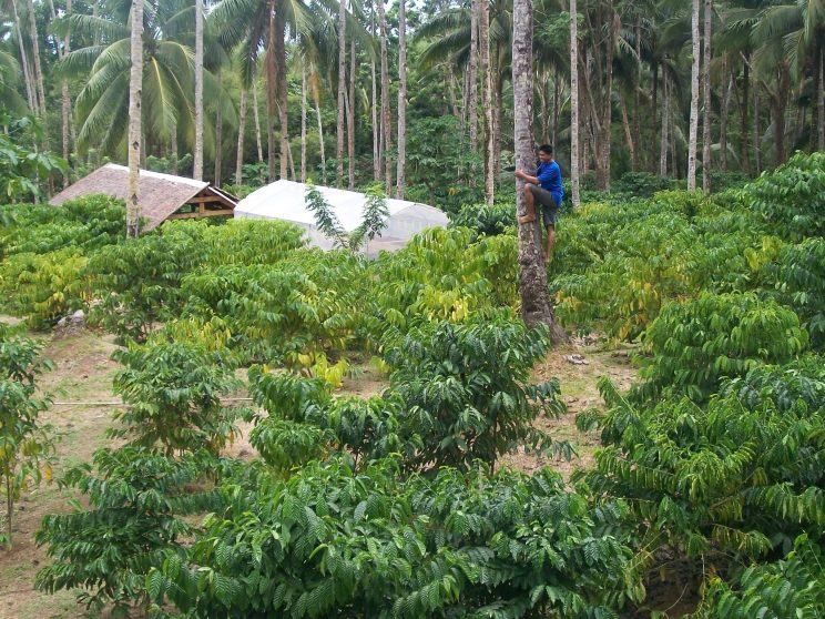 6 The coffee plants are intercropped with banana and coconut trees. 744x558 - Growing coffee brought a local back home to Leyte where she flourished in the trade, part 2: Growing coffee plants through intercropping