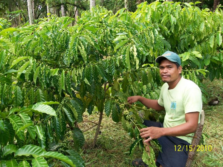 7 A farm worker posing next to the coffee plants. 744x558 - Growing coffee brought a local back home to Leyte where she flourished in the trade, part 2: Growing coffee plants through intercropping