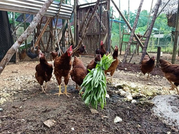 Free range chickens are mostly fed with upland kangkong that are also grown on-site.